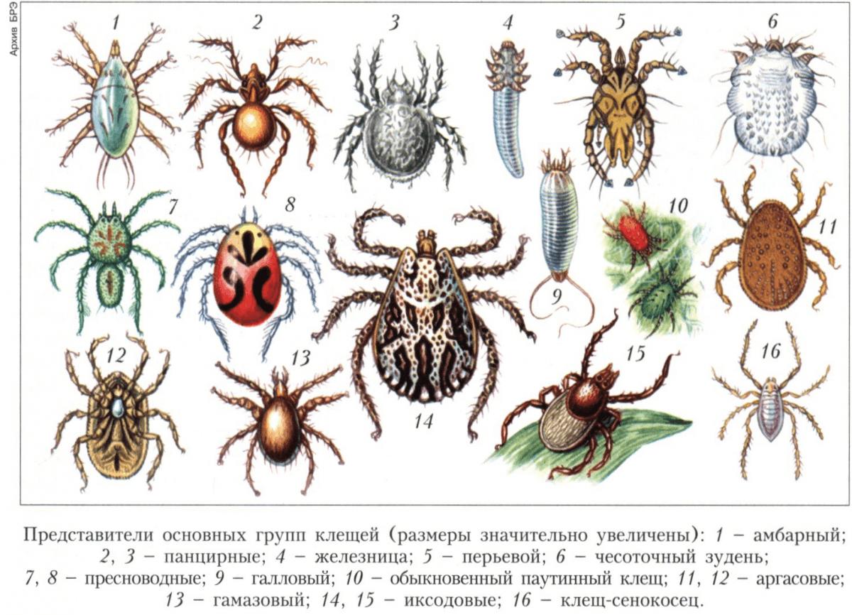 Клещи - как выглядят, какие виды бывают, фото и научная классификация