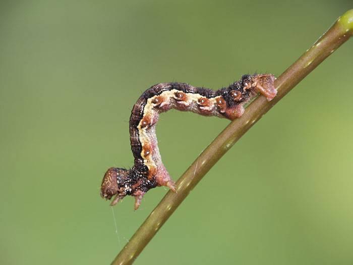 Гусеницы землемеры или пяденица: фото, описание внешнего вида, имеющиеся виды, наносимый вред и меры борьбы