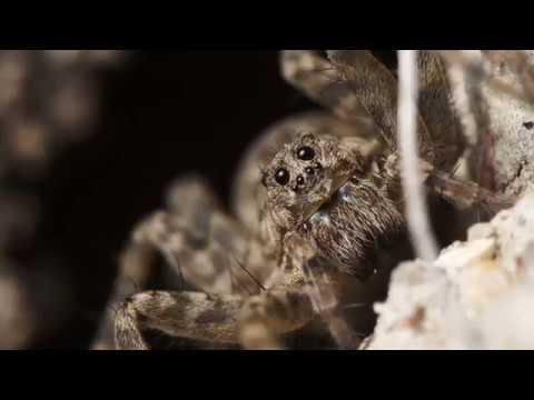 Как выглядит и насколько опасен паук волк – разновидности и поведение в дикой природе. пауки-волки – терпеливые охотники, которых кормят «ноги сколько глаз у паука волка
