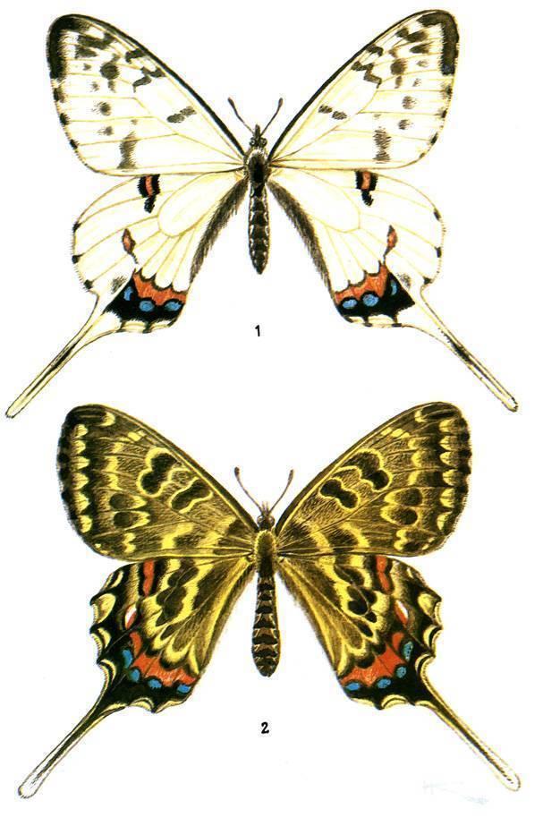 Алкиной (бабочка)