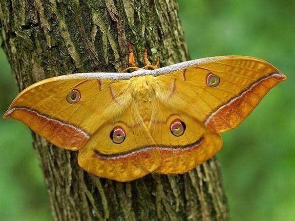 Описание и фото гусеницы и бабочки тутового шелкопряда