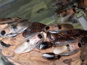Морские тараканы в черном море. морской таракан: фото и описание. можно ли их есть
