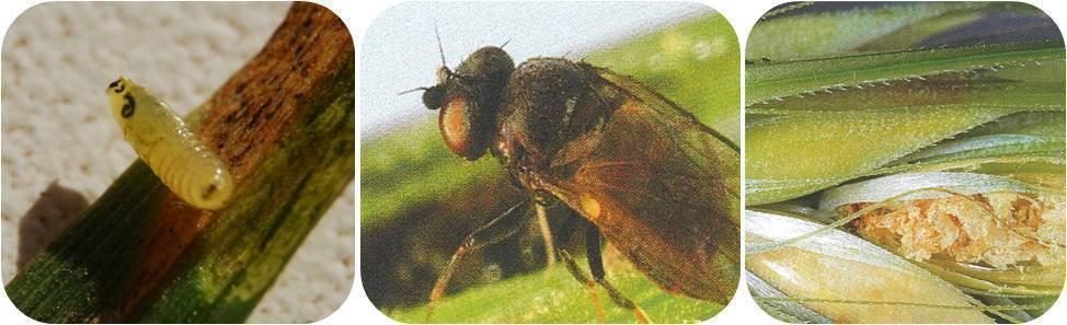 Шведская муха — опасный вредитель для растений