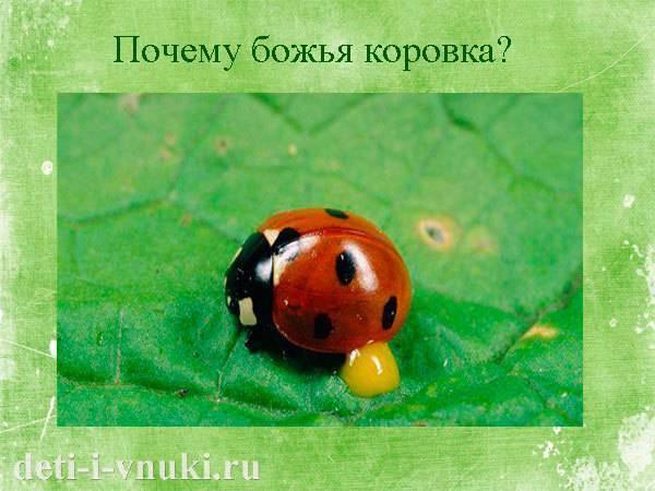Семиточечная божья коровка – маленький жук, но большой помощник