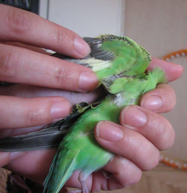 Куриный клещ, вши и блохи: лечение и профилактика птиц от паразитозов