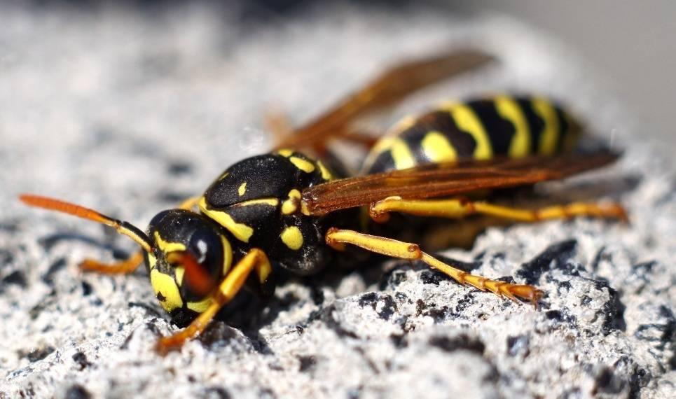 Как называется маленькая стройная полосатая муха — очень похожая на осу