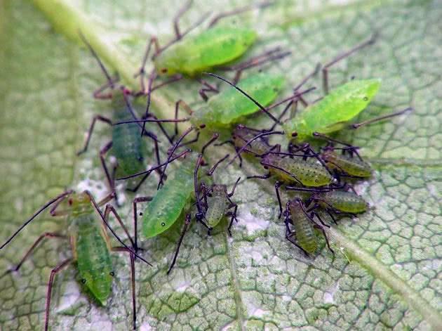 Вредители капусты и средства борьбы