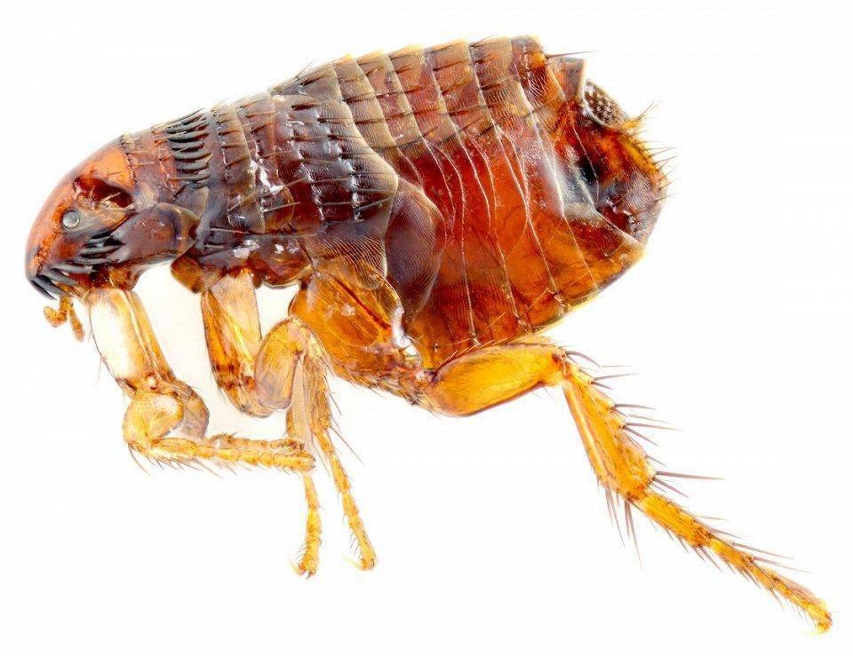 Белые тараканы в доме должны быть уничтожены быстро и навсегда