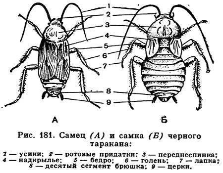 Сколько лап у таракана?