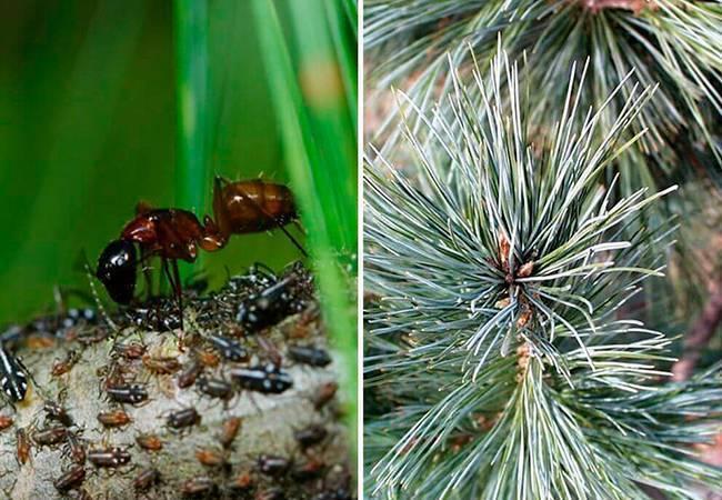 Методы борьбы с тлей на хвойных деревьях