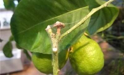 Как бороться с паутинным клещом на различных растениях