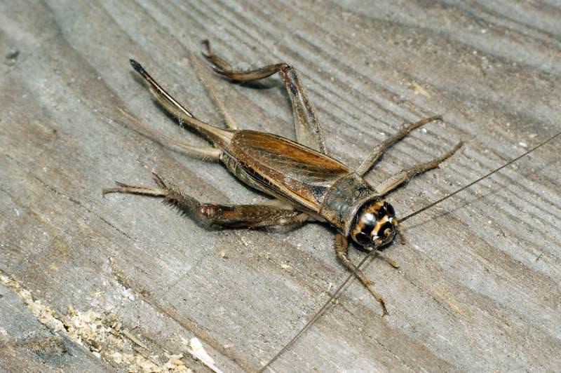 Мелодичный звук сверчка, или музыкальные способности насекомого