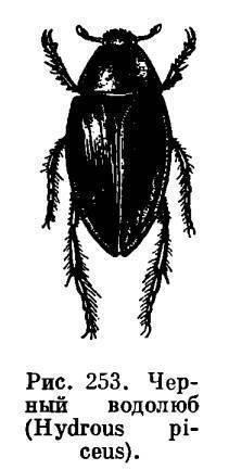 Плавунец окаймленный и водолюб большой сравнение двух видов жуков