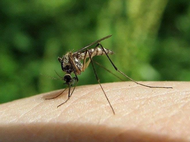 Сколько зубов у комара?