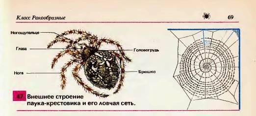 Паук-крестовик