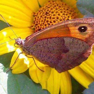 Бабочка галатея – красота черно-белого контраста