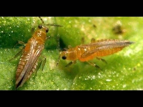 Ростковая муха – способы уничтожения личинок вредителя
