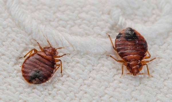 Какие вредители, насекомые и паразиты могут завестись в квартире или частном доме? описание, названия и фото