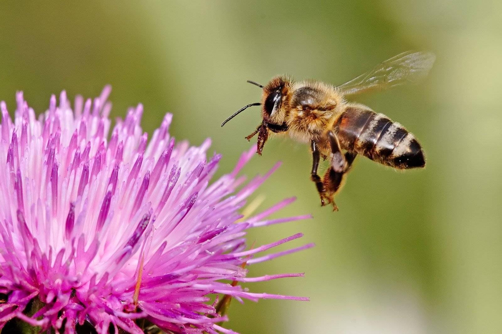 Пчелы исчезают. почему вымирают пчелы и чем это грозит людям? что будет, если пчелы исчезнут