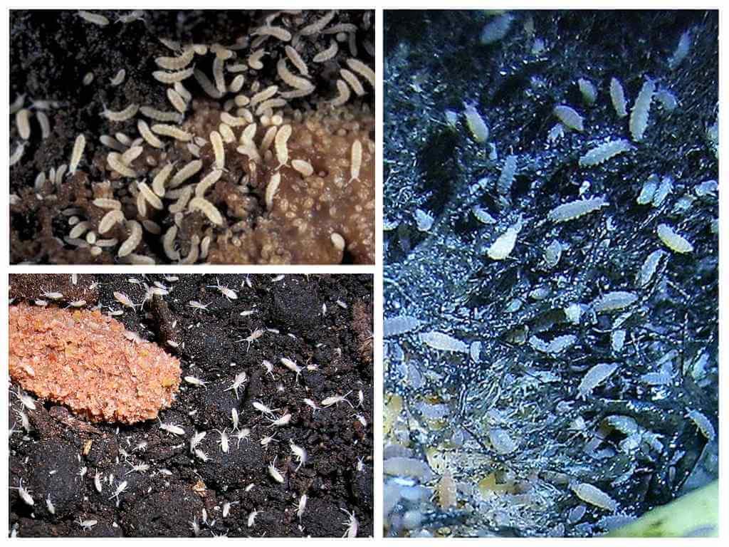 Подуры ногохвостки фото насекомое