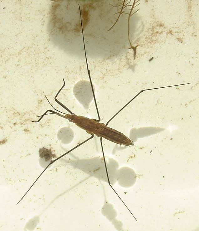 Описание и виды насекомых водомерок, их среда обитания