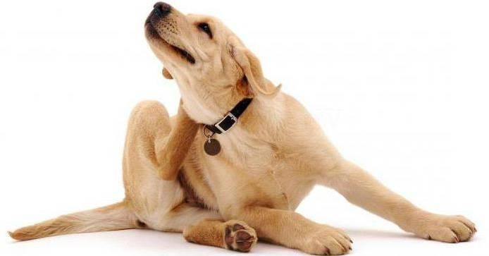 У собаки чешется живот но блох нет. собака чешется, но блох нет – в чем причина и что делать? стресс вызывает зуд