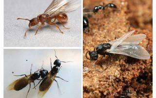 Как избавиться от черных муравьев в доме