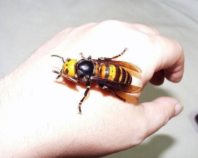 Японские шершни убийцы. азиатский шершень – одно из самых крупных и опасных насекомых. ареалы обитания гигантского шершня