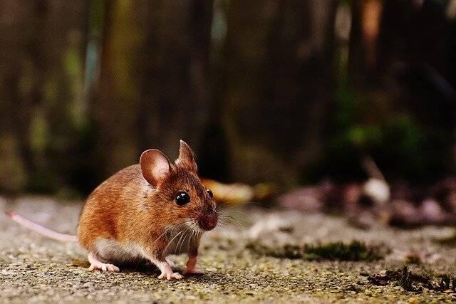 Мышка полёвка — как ей живётся?