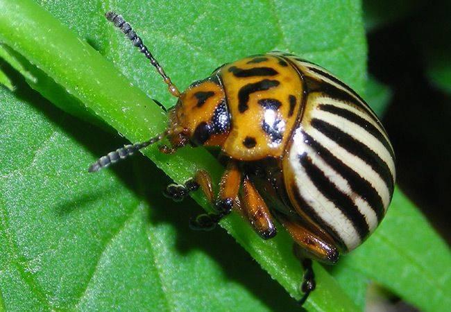 Как правильно применять препарат Корадо от колорадского жука
