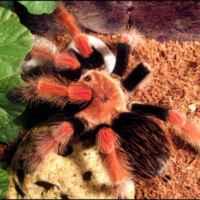 Тарантул – большой ядовитый паук. необыкновенный паук тарантул и многообразие его видов где обитает паук тарантул