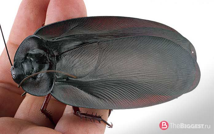 Самые большие тараканы
