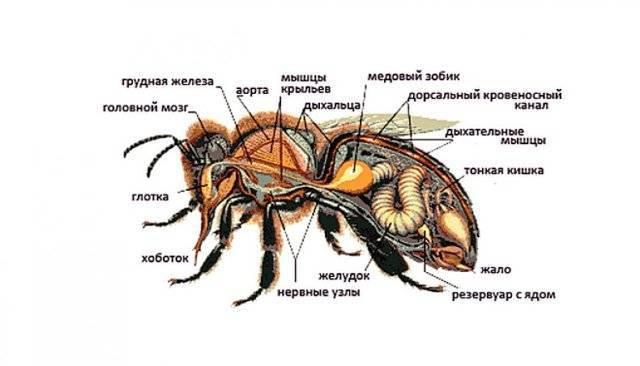 Пчела – создатель меда