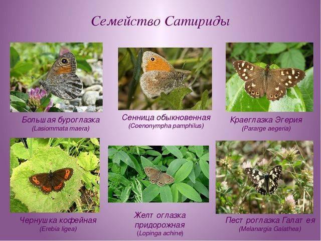 Бабочка пеструшка — описание, среда обитания, виды