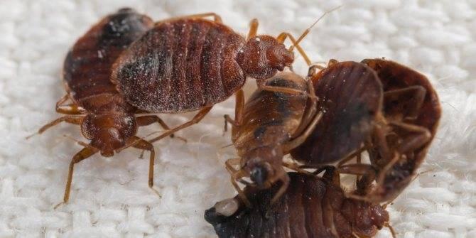 Чего боятся клопы: борьба с паразитами