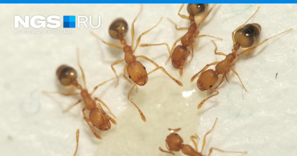 Как можно избавиться от рыжих муравьев в квартире?