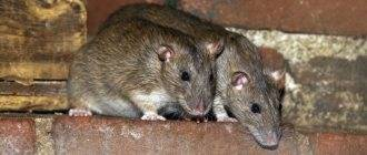 Способны ли мыши есть монтажную пену