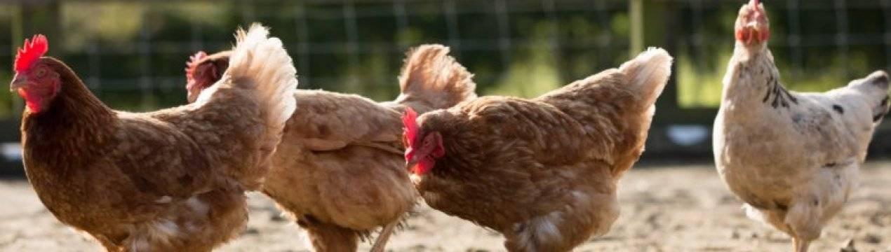 Боремся с пухопероедами у курочек