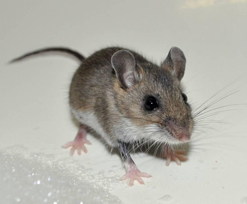 Про мышей интересные факты. интересные факты