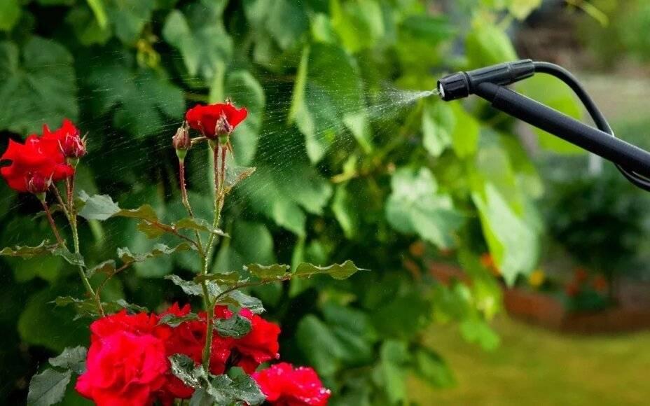 Методы борьбы с паутинным клещом на розе: химия и народные средства