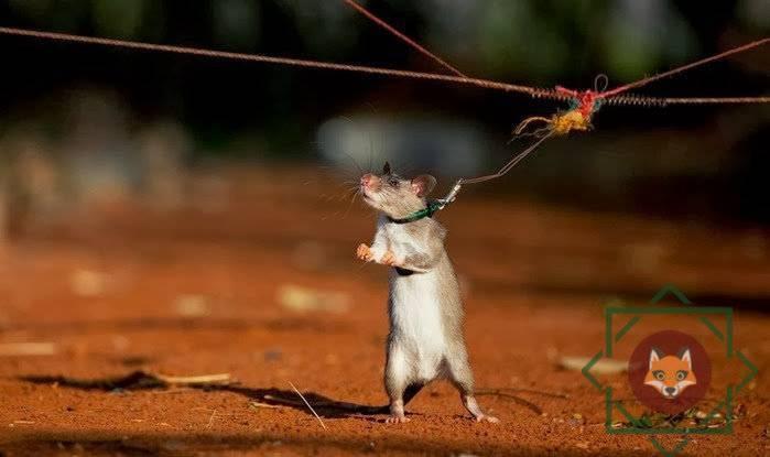Африканская крыса фото