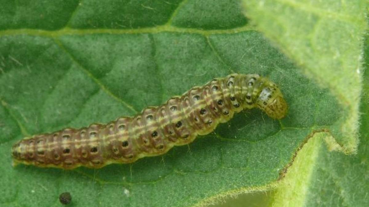 Болезни и вредители кукурузы: описание и способы борьбы