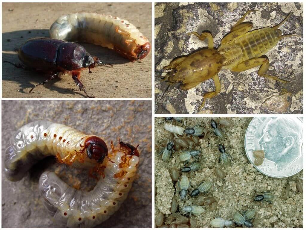 Как выглядит личинка медведки и чем она отличается от личинки майского жука