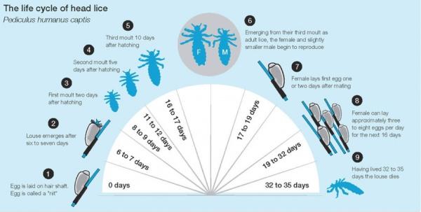 Как быстро размножаются вши?