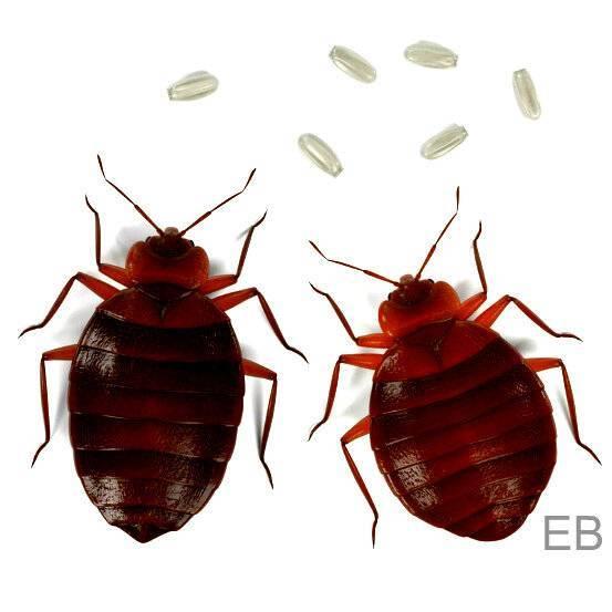 Как размножаются клопы – всё о кровососущих паразитах