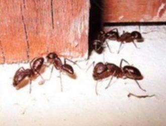 Муравей жнец — насекомое с самыми болезненными укусами. красные или огненные муравьи-жнецы самый болезненный укус муравья