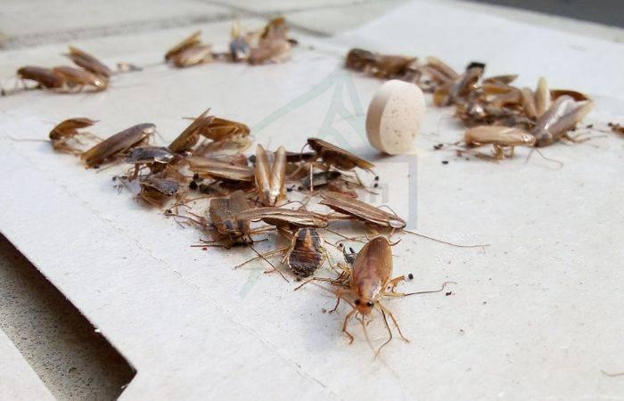 Как выглядят личинки тараканов, сколько тараканов в одном яйце?