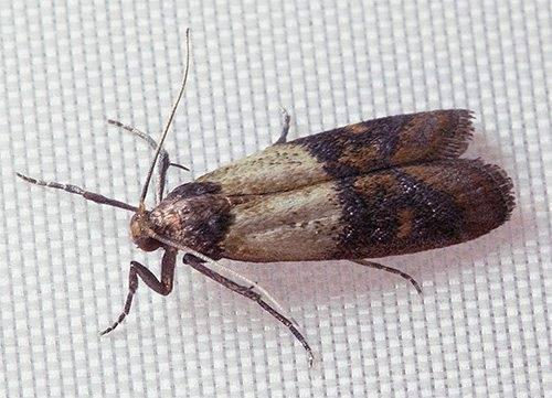 Как навсегда избавиться от моли в доме: виды эффективных домашних средств для уничтожения насекомых