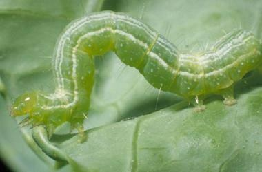 Чем обработать капусту от вредителей