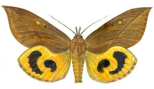 Крылья бабочки калиго похожи на сову